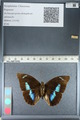 http://mczbase.mcz.harvard.edu/specimen_images/ent-lepidoptera/images/2012_04_19/IMG_116853.JPG