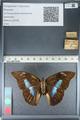 http://mczbase.mcz.harvard.edu/specimen_images/ent-lepidoptera/images/2012_04_19/IMG_116854.JPG