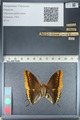 http://mczbase.mcz.harvard.edu/specimen_images/ent-lepidoptera/images/2012_04_19/IMG_116889.JPG