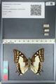 http://mczbase.mcz.harvard.edu/specimen_images/ent-lepidoptera/images/2012_04_20/IMG_116908.JPG