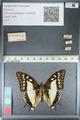 http://mczbase.mcz.harvard.edu/specimen_images/ent-lepidoptera/images/2012_04_20/IMG_116909.JPG