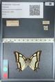 http://mczbase.mcz.harvard.edu/specimen_images/ent-lepidoptera/images/2012_04_20/IMG_116932.JPG