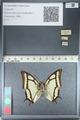 http://mczbase.mcz.harvard.edu/specimen_images/ent-lepidoptera/images/2012_04_20/IMG_116933.JPG