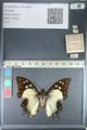 http://mczbase.mcz.harvard.edu/specimen_images/ent-lepidoptera/images/2012_04_21/IMG_116949.JPG
