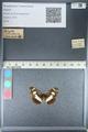 http://mczbase.mcz.harvard.edu/specimen_images/ent-lepidoptera/images/2012_04_23/IMG_117064.JPG