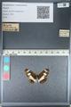 http://mczbase.mcz.harvard.edu/specimen_images/ent-lepidoptera/images/2012_04_23/IMG_117068.JPG