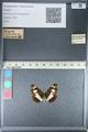 http://mczbase.mcz.harvard.edu/specimen_images/ent-lepidoptera/images/2012_04_23/IMG_117070.JPG
