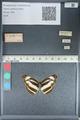 http://mczbase.mcz.harvard.edu/specimen_images/ent-lepidoptera/images/2012_04_23/IMG_117284.JPG