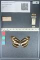 http://mczbase.mcz.harvard.edu/specimen_images/ent-lepidoptera/images/2012_04_23/IMG_117288.JPG