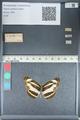 http://mczbase.mcz.harvard.edu/specimen_images/ent-lepidoptera/images/2012_04_23/IMG_117289.JPG