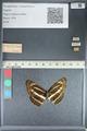 http://mczbase.mcz.harvard.edu/specimen_images/ent-lepidoptera/images/2012_04_24/IMG_117369.JPG