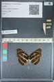 http://mczbase.mcz.harvard.edu/specimen_images/ent-lepidoptera/images/2012_04_24/IMG_117401.JPG