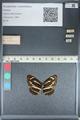 http://mczbase.mcz.harvard.edu/specimen_images/ent-lepidoptera/images/2012_04_24/IMG_117421.JPG