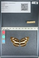 http://mczbase.mcz.harvard.edu/specimen_images/ent-lepidoptera/images/2012_04_25/IMG_117612.JPG