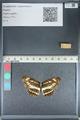 http://mczbase.mcz.harvard.edu/specimen_images/ent-lepidoptera/images/2012_04_25/IMG_117616.JPG