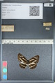 http://mczbase.mcz.harvard.edu/specimen_images/ent-lepidoptera/images/2012_04_28/IMG_117899.JPG