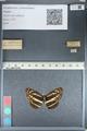 http://mczbase.mcz.harvard.edu/specimen_images/ent-lepidoptera/images/2012_04_28/IMG_117900.JPG