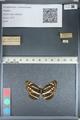 http://mczbase.mcz.harvard.edu/specimen_images/ent-lepidoptera/images/2012_04_28/IMG_117901.JPG