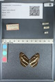 http://mczbase.mcz.harvard.edu/specimen_images/ent-lepidoptera/images/2012_04_28/IMG_117933.JPG