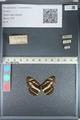 http://mczbase.mcz.harvard.edu/specimen_images/ent-lepidoptera/images/2012_04_28/IMG_117934.JPG