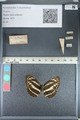 http://mczbase.mcz.harvard.edu/specimen_images/ent-lepidoptera/images/2012_04_28/IMG_117935.JPG
