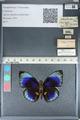 http://mczbase.mcz.harvard.edu/specimen_images/ent-lepidoptera/images/2012_04_30/IMG_118263.JPG