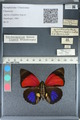 http://mczbase.mcz.harvard.edu/specimen_images/ent-lepidoptera/images/2012_04_30/IMG_118282.JPG