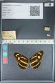 http://mczbase.mcz.harvard.edu/specimen_images/ent-lepidoptera/images/2012_05_02/IMG_118468.JPG