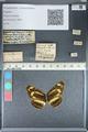 http://mczbase.mcz.harvard.edu/specimen_images/ent-lepidoptera/images/2012_05_02/IMG_118483.JPG