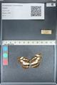 http://mczbase.mcz.harvard.edu/specimen_images/ent-lepidoptera/images/2012_05_02/IMG_118526.JPG
