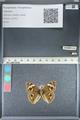 http://mczbase.mcz.harvard.edu/specimen_images/ent-lepidoptera/images/2012_05_04/IMG_118776.JPG