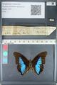 http://mczbase.mcz.harvard.edu/specimen_images/ent-lepidoptera/images/2012_05_07/IMG_119004.JPG