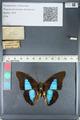 http://mczbase.mcz.harvard.edu/specimen_images/ent-lepidoptera/images/2012_05_07/IMG_119006.JPG