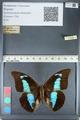 http://mczbase.mcz.harvard.edu/specimen_images/ent-lepidoptera/images/2012_05_07/IMG_119035.JPG