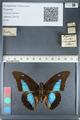 http://mczbase.mcz.harvard.edu/specimen_images/ent-lepidoptera/images/2012_05_07/IMG_119049.JPG