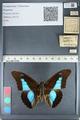 http://mczbase.mcz.harvard.edu/specimen_images/ent-lepidoptera/images/2012_05_07/IMG_119053.JPG