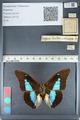 http://mczbase.mcz.harvard.edu/specimen_images/ent-lepidoptera/images/2012_05_07/IMG_119055.JPG