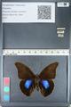 http://mczbase.mcz.harvard.edu/specimen_images/ent-lepidoptera/images/2012_05_07/IMG_119073.JPG