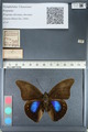 http://mczbase.mcz.harvard.edu/specimen_images/ent-lepidoptera/images/2012_05_07/IMG_119080.JPG