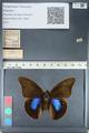 http://mczbase.mcz.harvard.edu/specimen_images/ent-lepidoptera/images/2012_05_07/IMG_119081.JPG