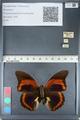 http://mczbase.mcz.harvard.edu/specimen_images/ent-lepidoptera/images/2012_05_07/IMG_119086.JPG