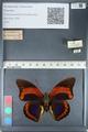 http://mczbase.mcz.harvard.edu/specimen_images/ent-lepidoptera/images/2012_05_07/IMG_119089.JPG