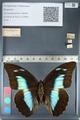 http://mczbase.mcz.harvard.edu/specimen_images/ent-lepidoptera/images/2012_05_07/IMG_119092.JPG