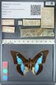 http://mczbase.mcz.harvard.edu/specimen_images/ent-lepidoptera/images/2012_05_07/IMG_119098.JPG