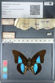 http://mczbase.mcz.harvard.edu/specimen_images/ent-lepidoptera/images/2012_05_07/IMG_119099.JPG