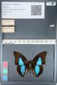 http://mczbase.mcz.harvard.edu/specimen_images/ent-lepidoptera/images/2012_05_07/IMG_119100.JPG