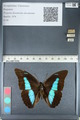http://mczbase.mcz.harvard.edu/specimen_images/ent-lepidoptera/images/2012_05_07/IMG_119101.JPG