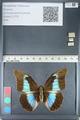 http://mczbase.mcz.harvard.edu/specimen_images/ent-lepidoptera/images/2012_05_07/IMG_119102.JPG