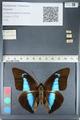 http://mczbase.mcz.harvard.edu/specimen_images/ent-lepidoptera/images/2012_05_07/IMG_119105.JPG