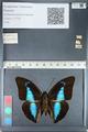 http://mczbase.mcz.harvard.edu/specimen_images/ent-lepidoptera/images/2012_05_07/IMG_119106.JPG